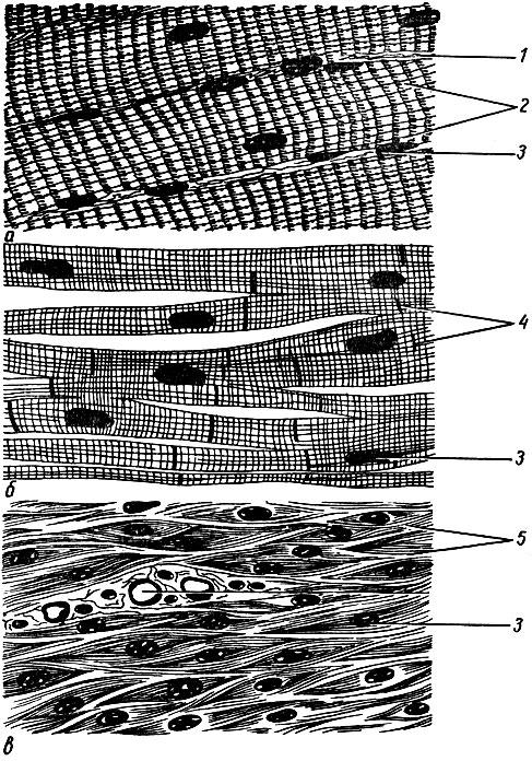 (гладкая) мышечная ткань;
