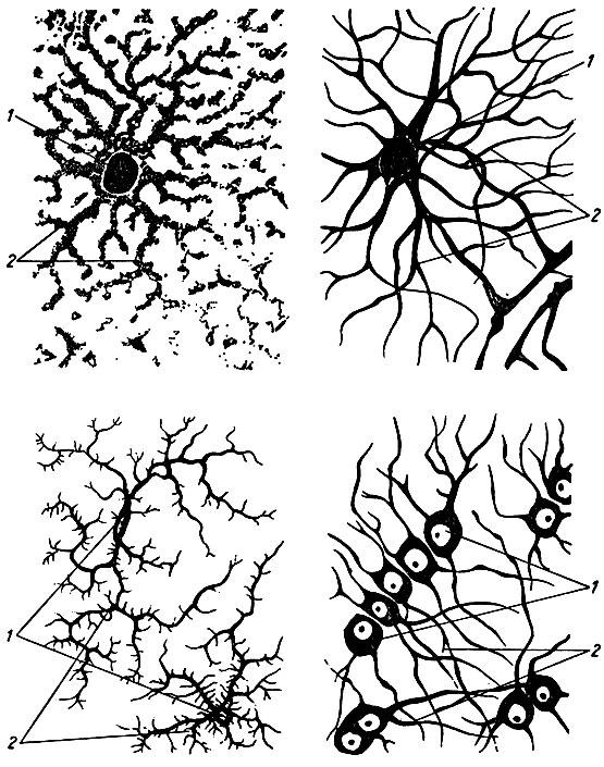 Рис. 11. Клетки нейроглии.
