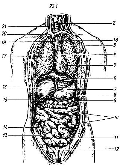 Органы шеи, грудной и брюшной