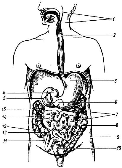 Пищеварительный канал (схема).