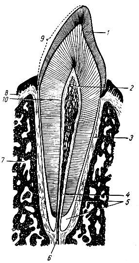 Строение зуба (схема).