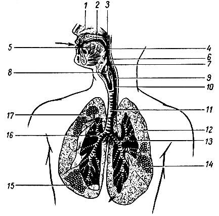 1 - полость носа; 2
