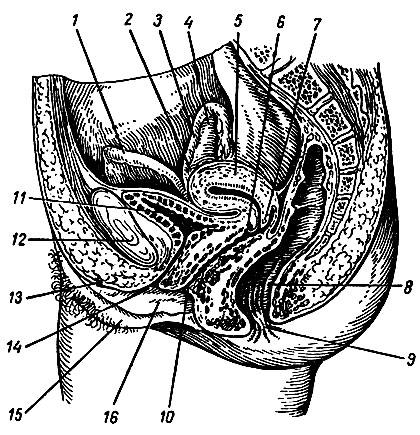 Влагалище матка клитор фото139