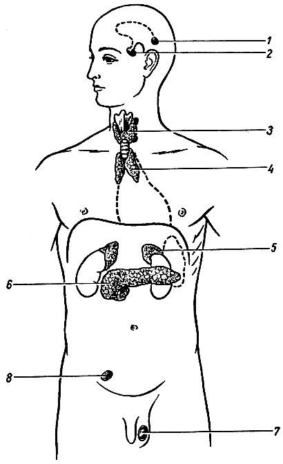 1 - шишковидное тело;