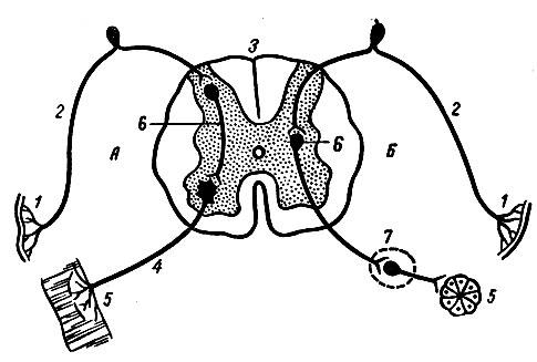 Общая схема рефлекторной дуги