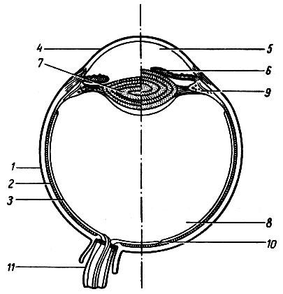 глазного яблока и механизм