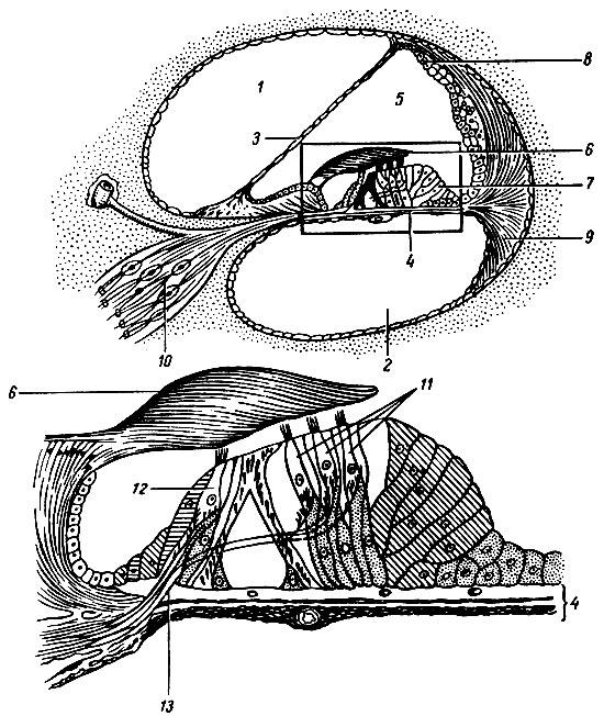 Мембрана базилярная фото
