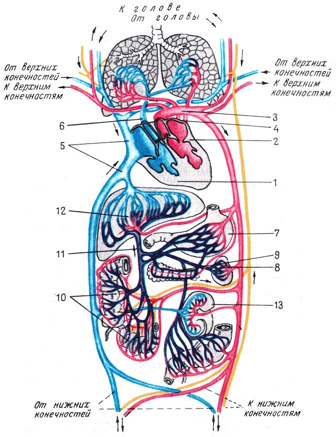 V. Схема кровообращения и