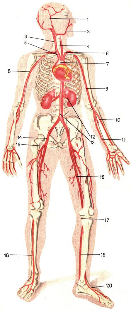 Артериальная система (схема).