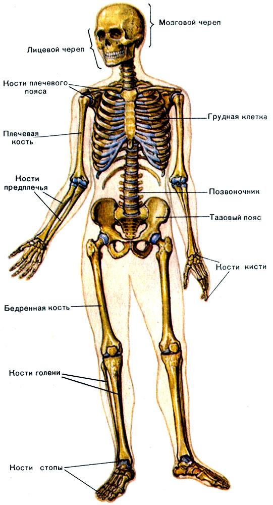 картинки человека скелет