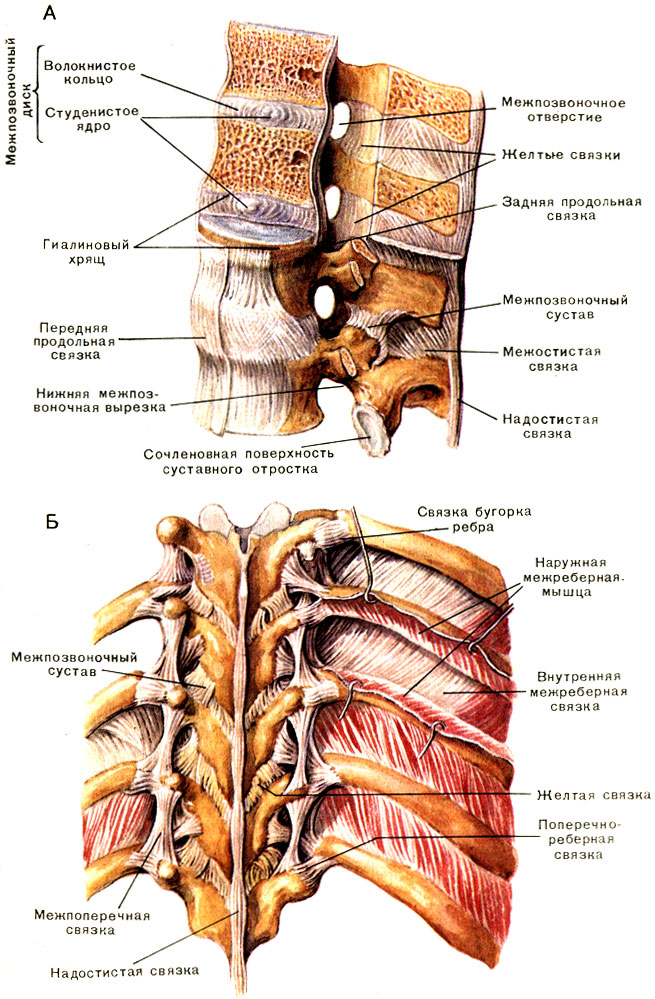 Соединение костей туловища