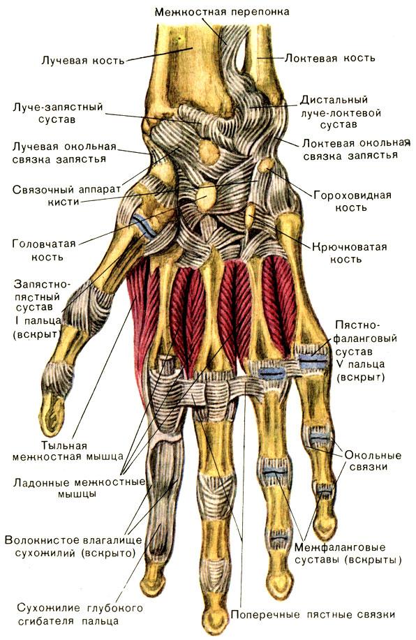 Межфаланговые суставы кистей узи тазобедренных суставов новорожденным