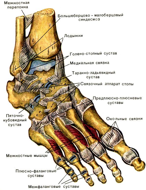 кости мышцы и суставы человека