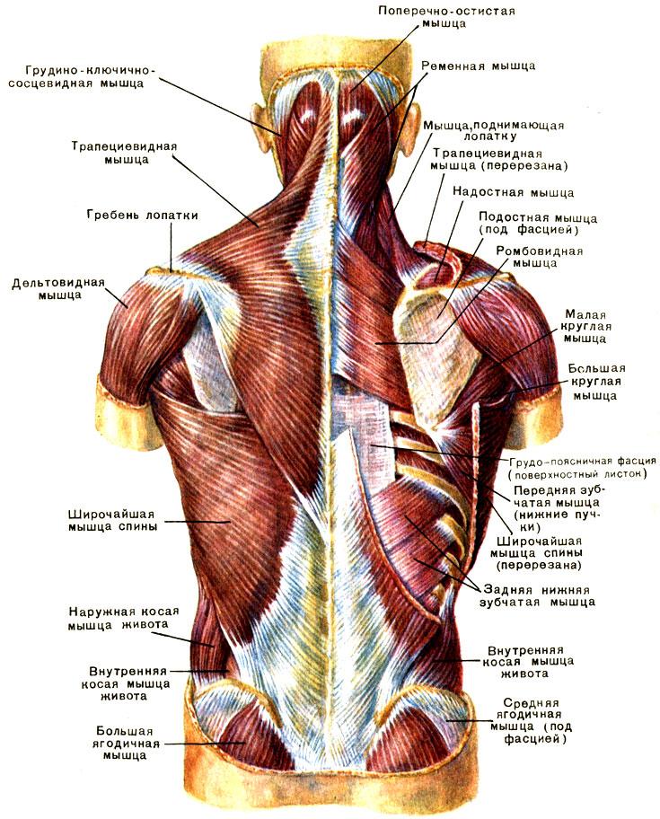 Мышцы спины и их массаж в картинках