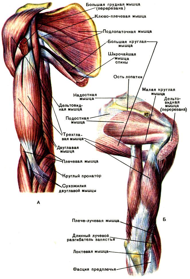 артроз мышцы плеча