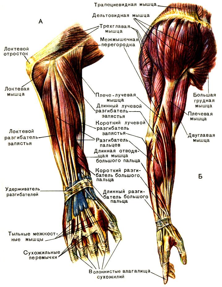 Скачать бесплатно Сапин М.Р. - Анатомия человека. Том 1
