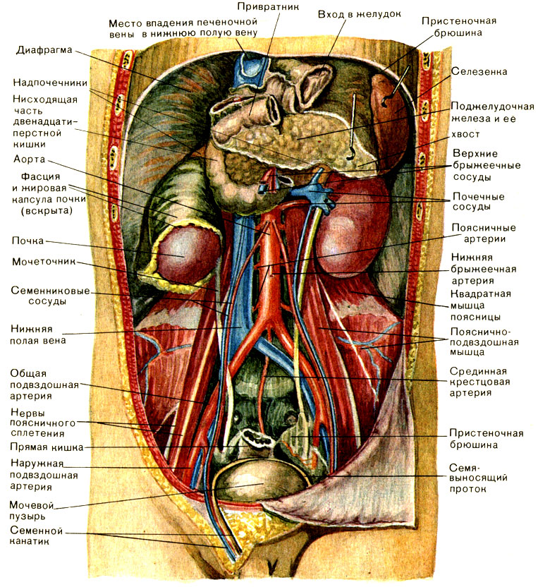 Органы брюшной полости схема