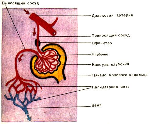 Таблица 53 Б. Строение почки