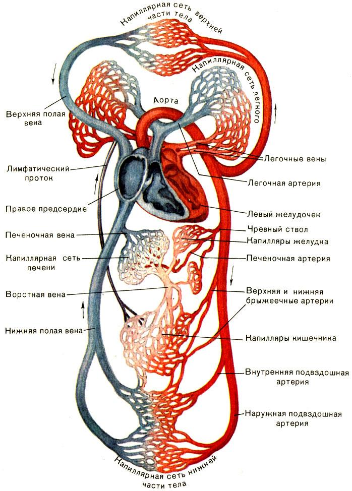 Схема кровообращения.