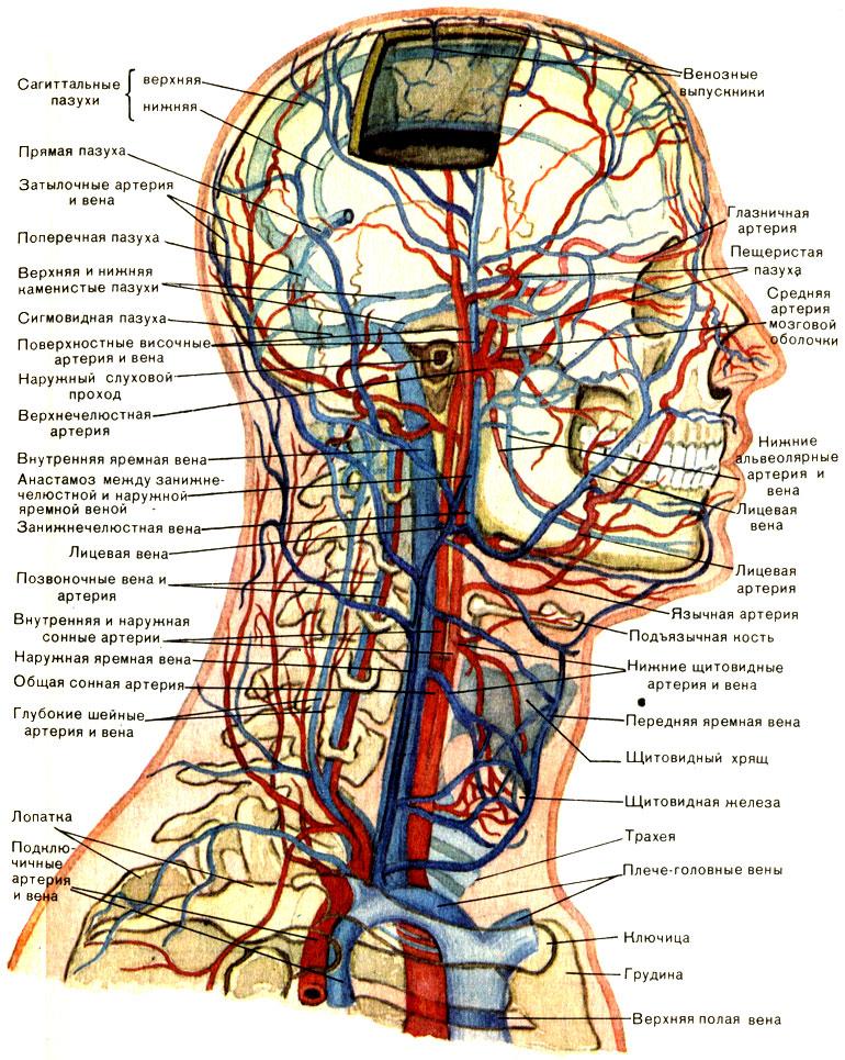 вены головы и шеи (схема)