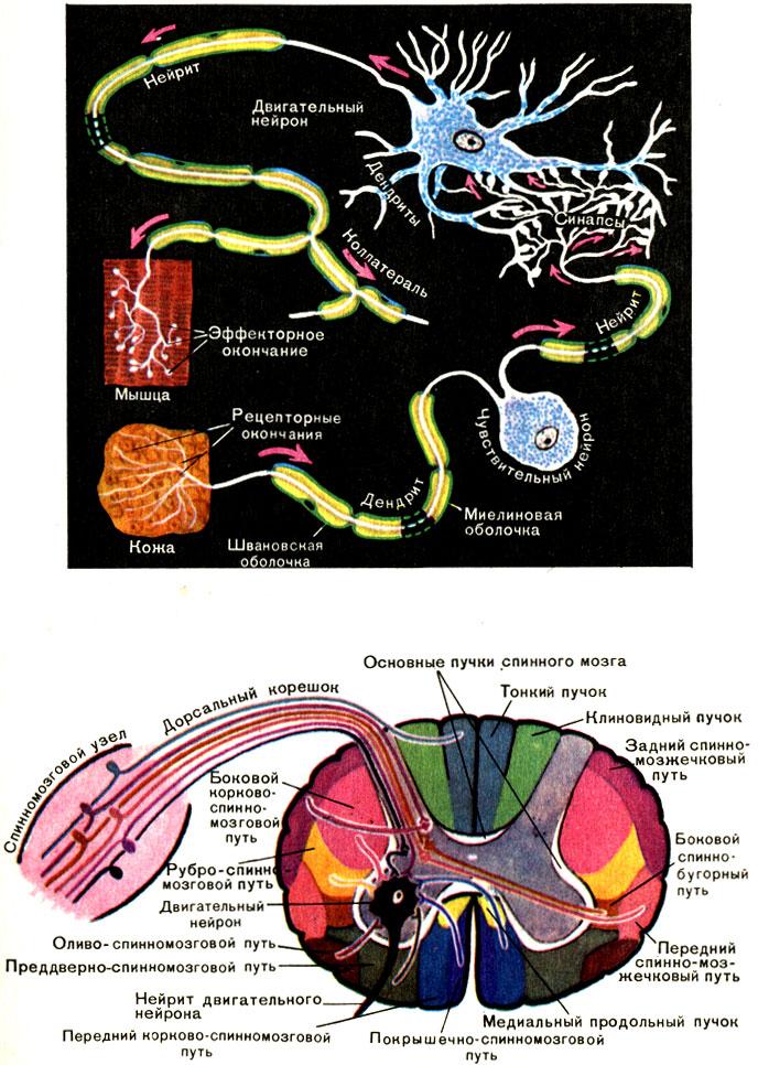 Нейроны и проводящие пути