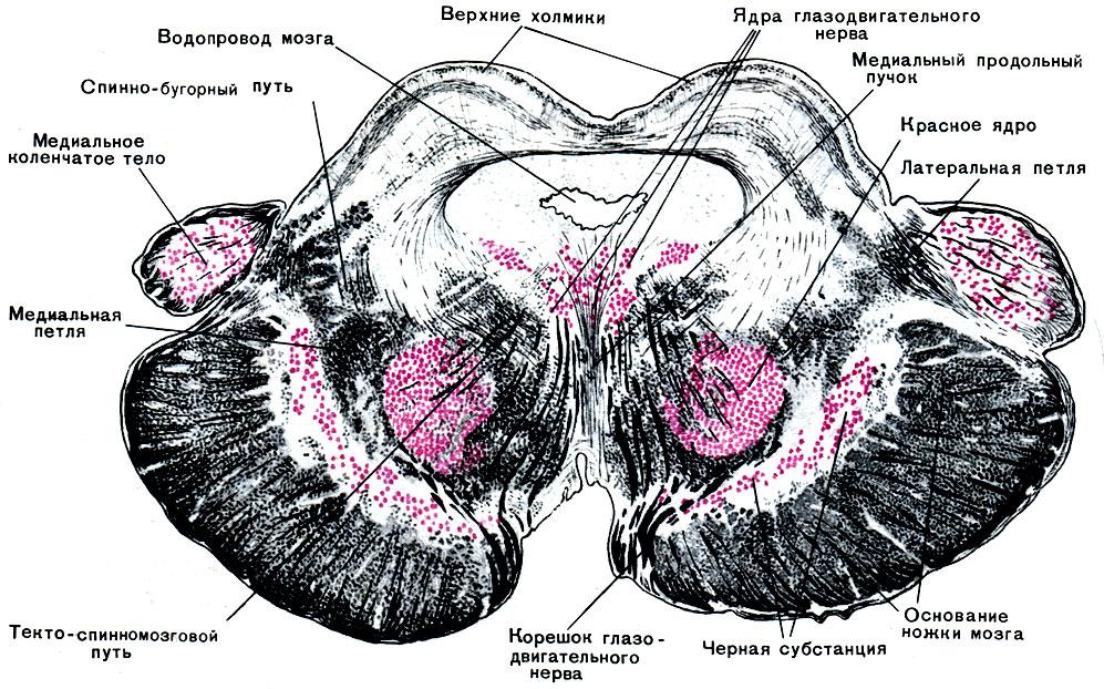 Мозг Средний фото
