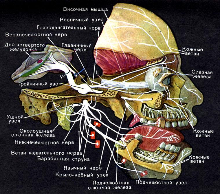 Нерв тройничный фото