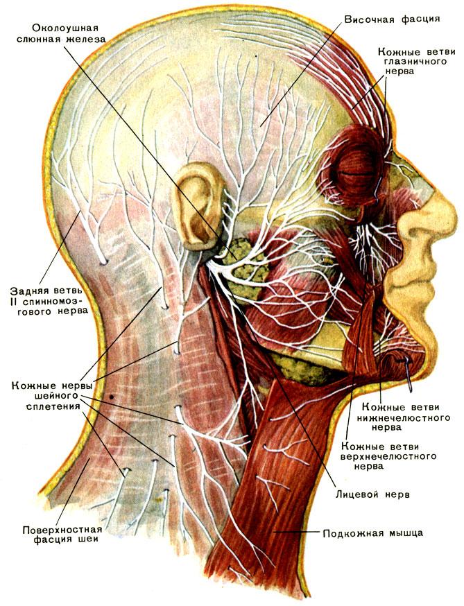 Нерв лицевой фото