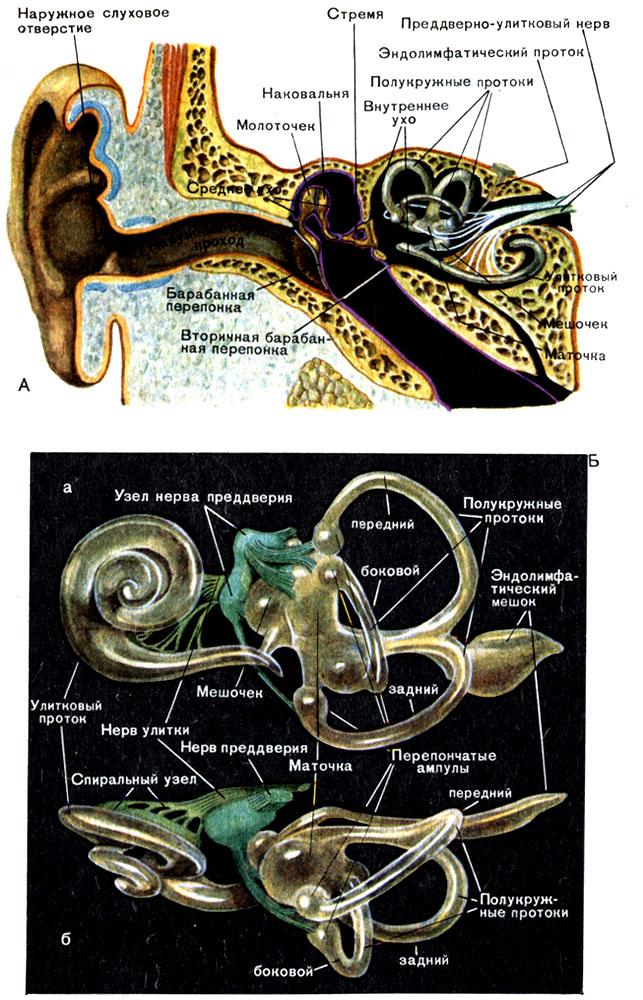 Строение органов слуха и