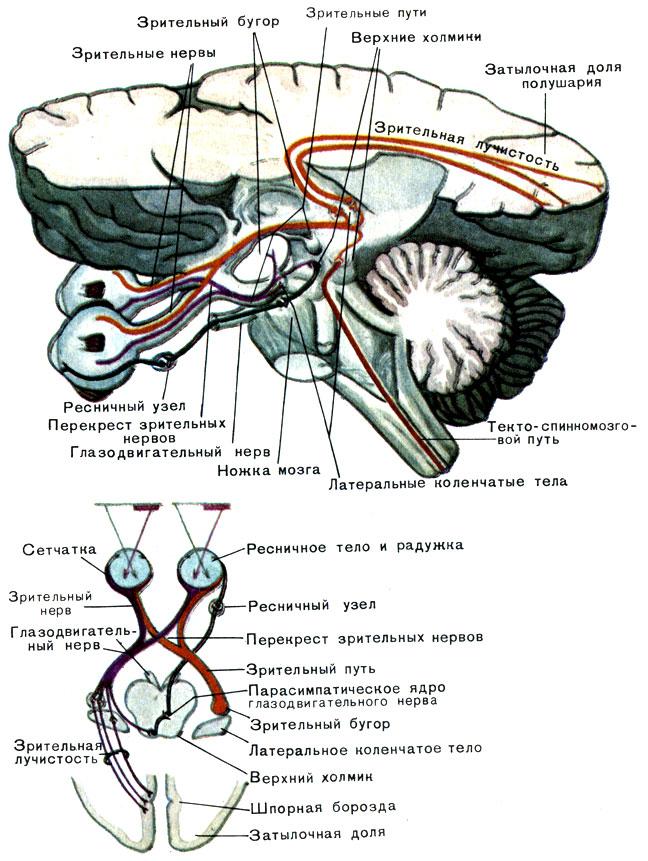 Зрительный анализатор (схема)