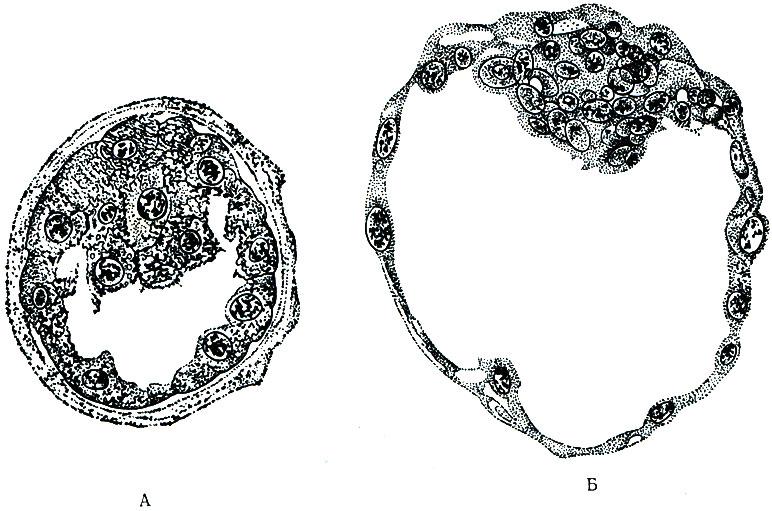 Пузырек Зародышевый фото