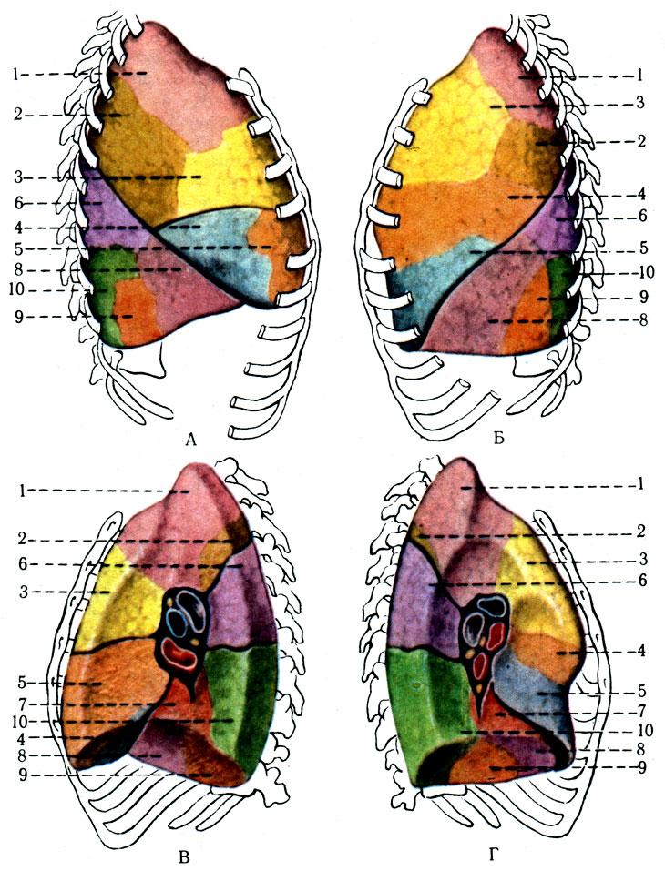 А-Г - поверхности легких.