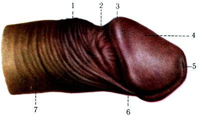 большие половые органы мужчин