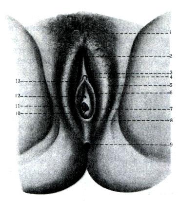Наружные женские половые