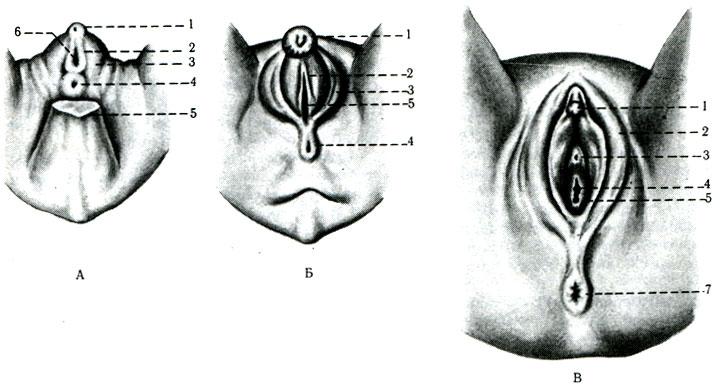 Половые губы у обезян фото фото 262-637