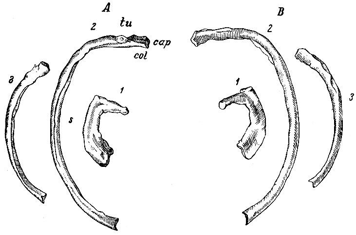 Ребро фото