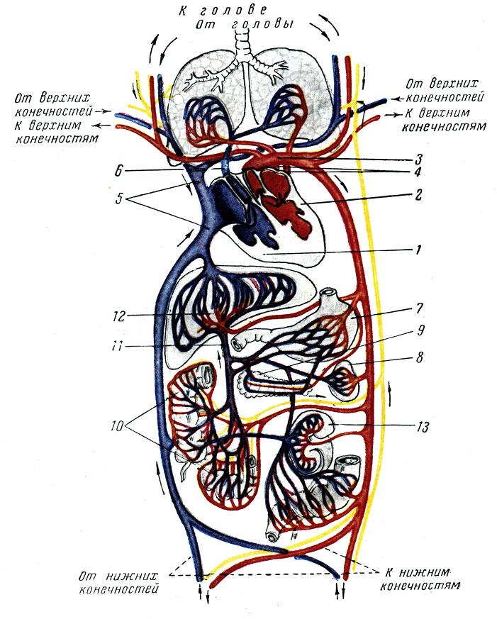 Схема кровообращения и