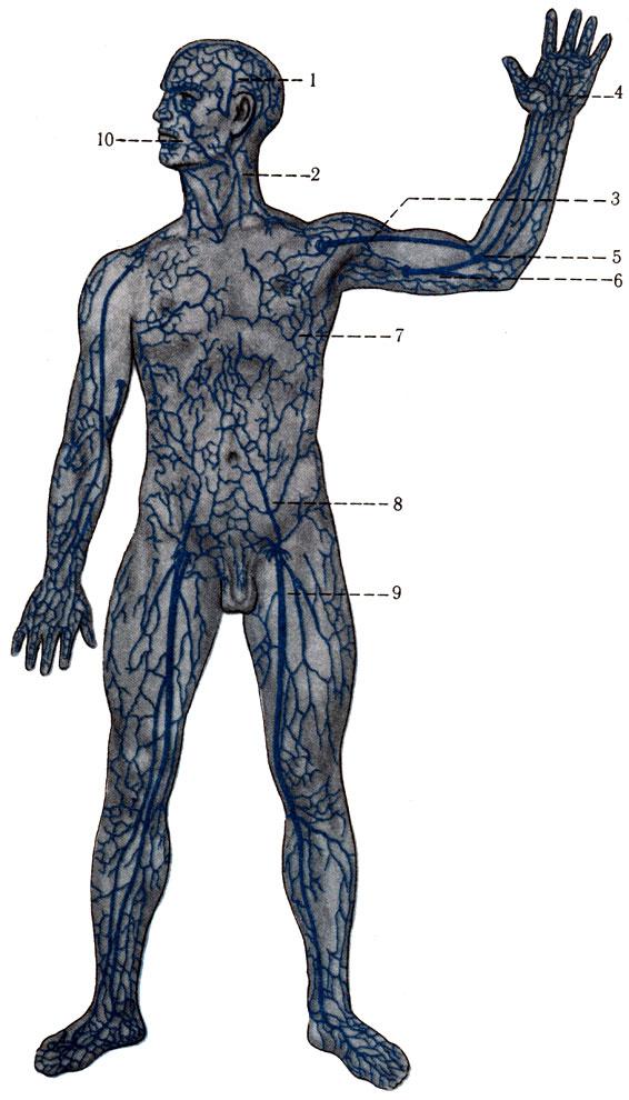 424. Схема подкожных вен и их анастомозов. 1 - v. temporalis superficialisis; 2 - v. jugularis externa; 3 - v. cephalica; 4 - rete venosum palmarae; 5 - v. mediana cubiti; 6 - v. basilica; 7 - vv. thoracoepigastricae; 8 - v. epigastrica superficialisis; 9 - v. saphena magna; 10 - v. facialis