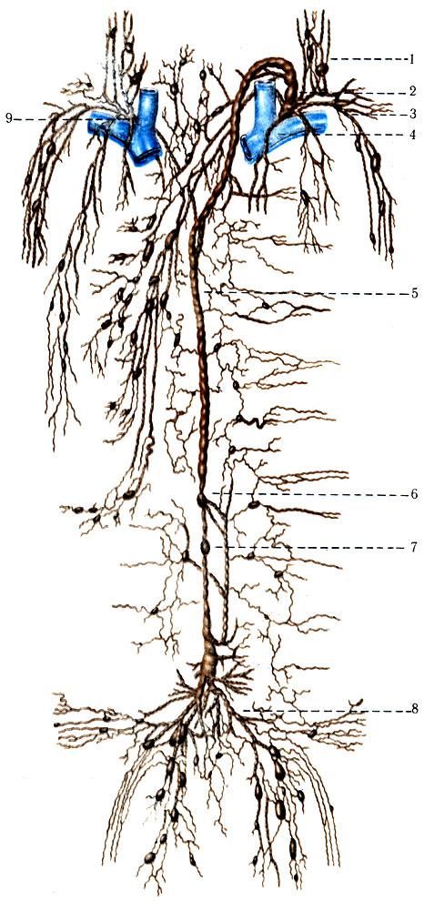 диатез лимфатической системы