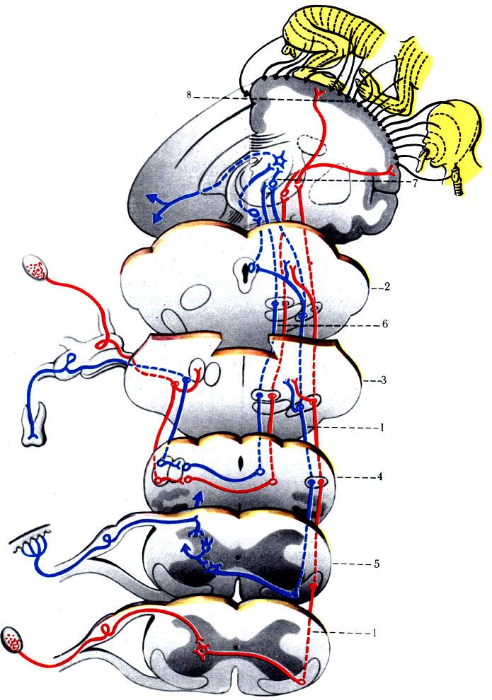 Схема проводящих путей общей