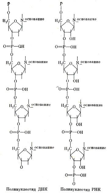 Схема строения нуклеиновых