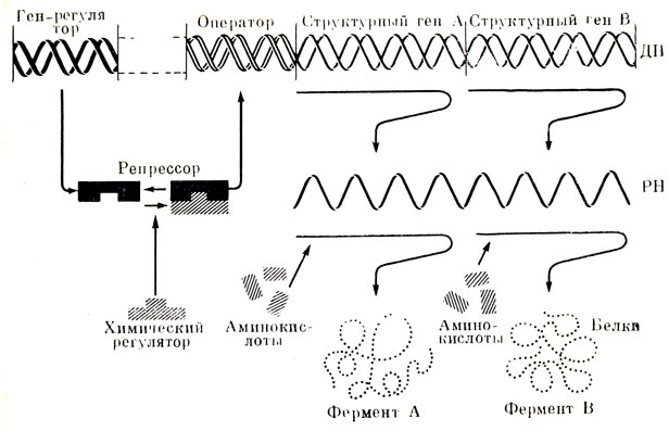 Схема регуляции белкового