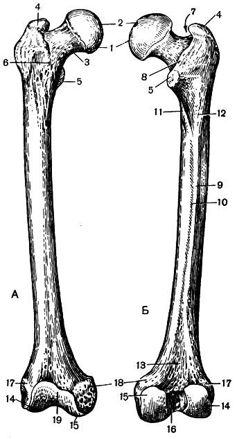 Правая бедренная кость: А