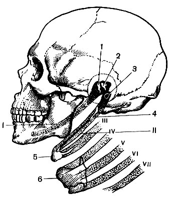 9. Череп [1979 Курепина М.М., Воккен Г.Г. - Анатомия человека ...