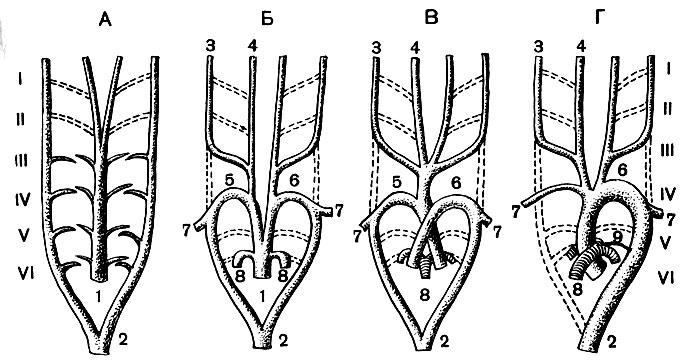 Глава третья. Сосудистая система и органы внутренней секреции ...