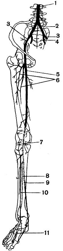 Артерии нижней конечности