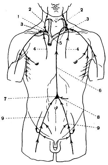 Лимфатические протоки (схема):