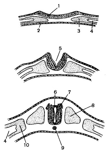 развития нервной трубки: 1
