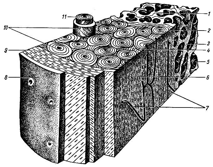 Строение кости (схема).