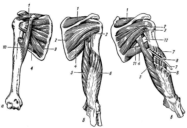 Мышца Круглая